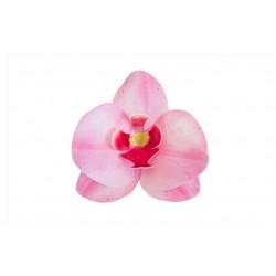 Storczyk różowy waflowy -...